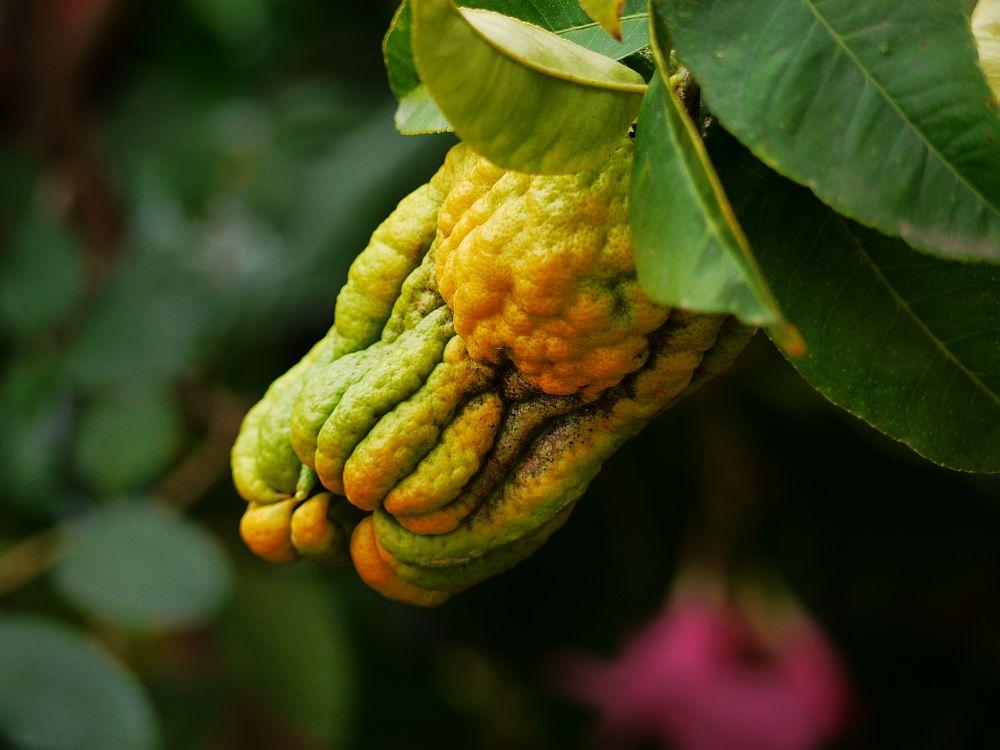 Buddhas Hand Zitrone