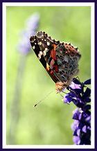 Buddy Butterfly II