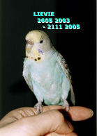 budgie named Lievie