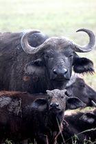 Büffel Familie