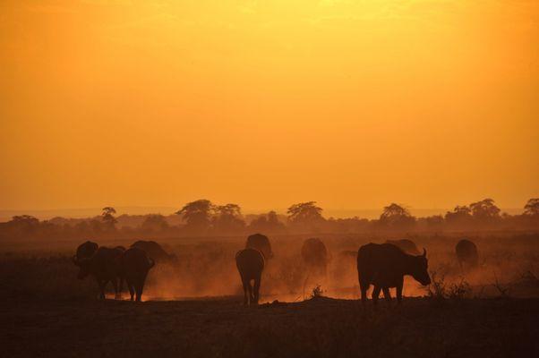 Büffel im Morgenlicht