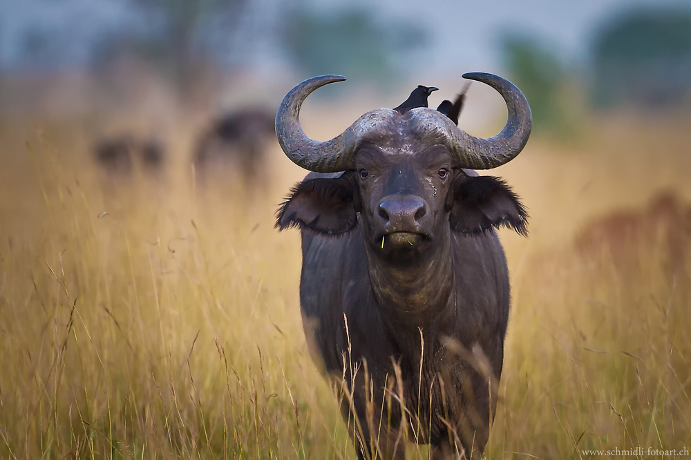 Büffel im Murchisson NP
