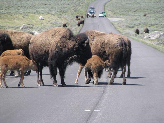 Büffel im Yellowstone
