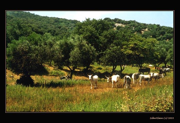 Büffel in der Maremma