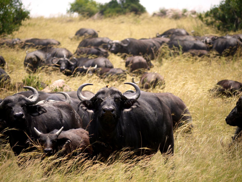 Büffel mit Kalb