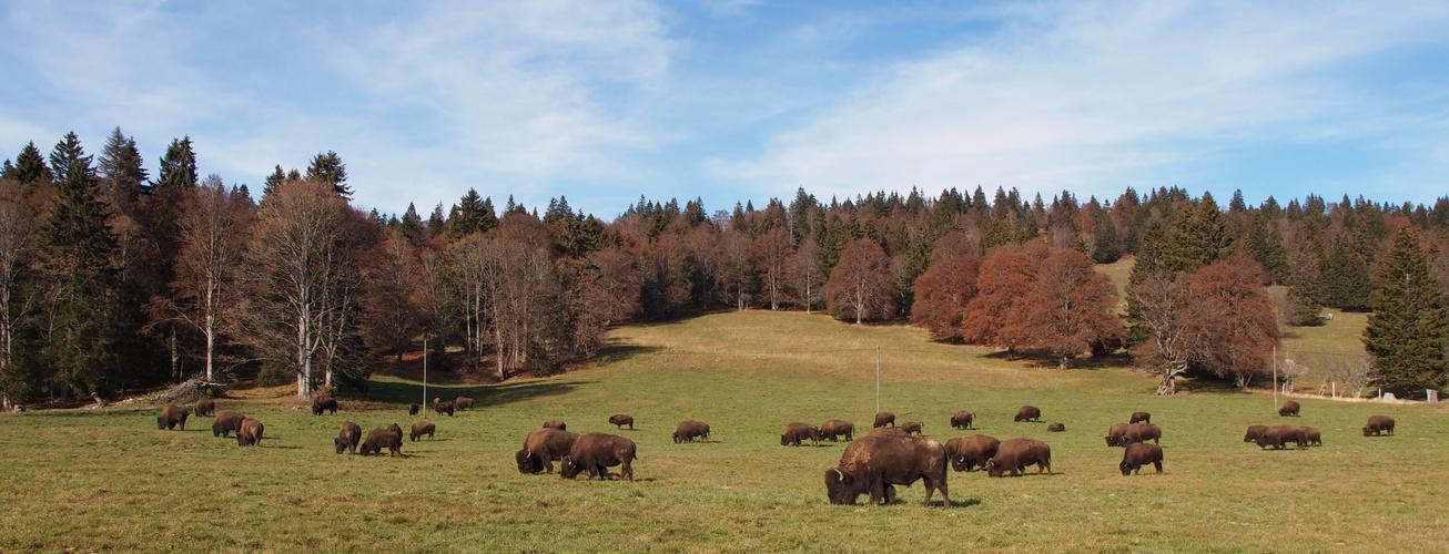 Büffelherde im Jura