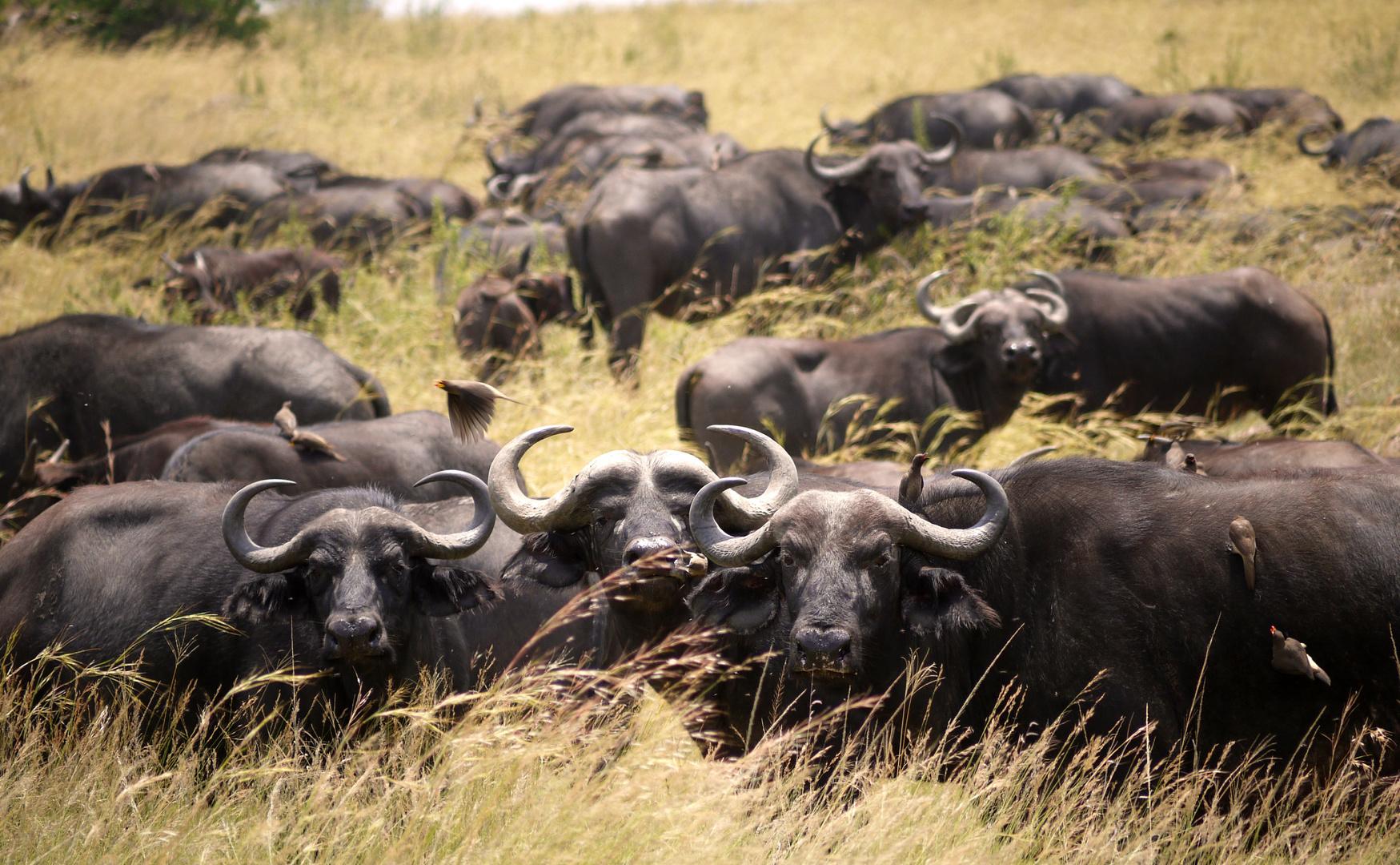 Büffelherde in der Mara