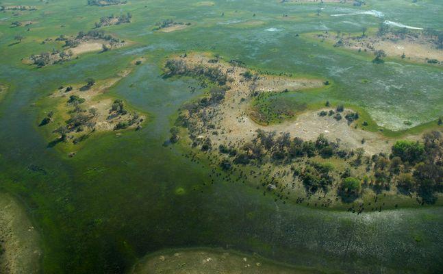 Büffelherde Okavango-Delta - Botswana