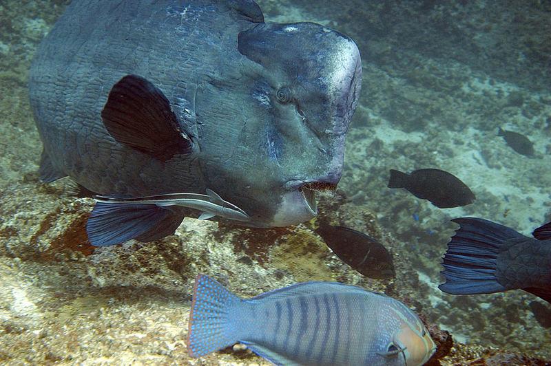 Büffelkopf Papageienfisch