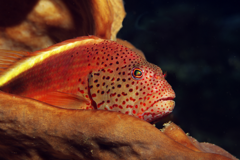 Büschelbarsch (Korallenwächter)