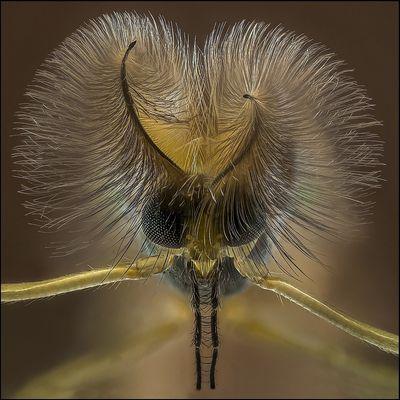 Büschelmückenmann