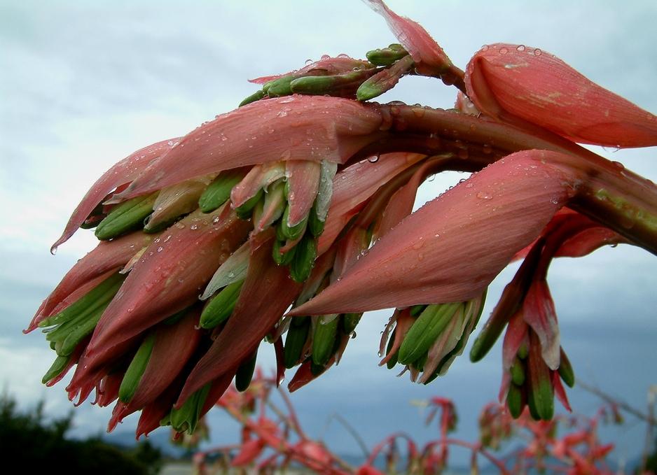 Bütendolde des Neuseeland-Flachs.