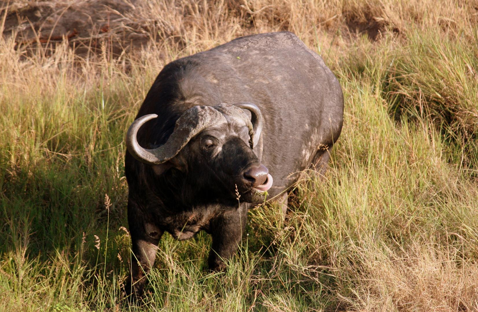 Bufalo en Masai Mara