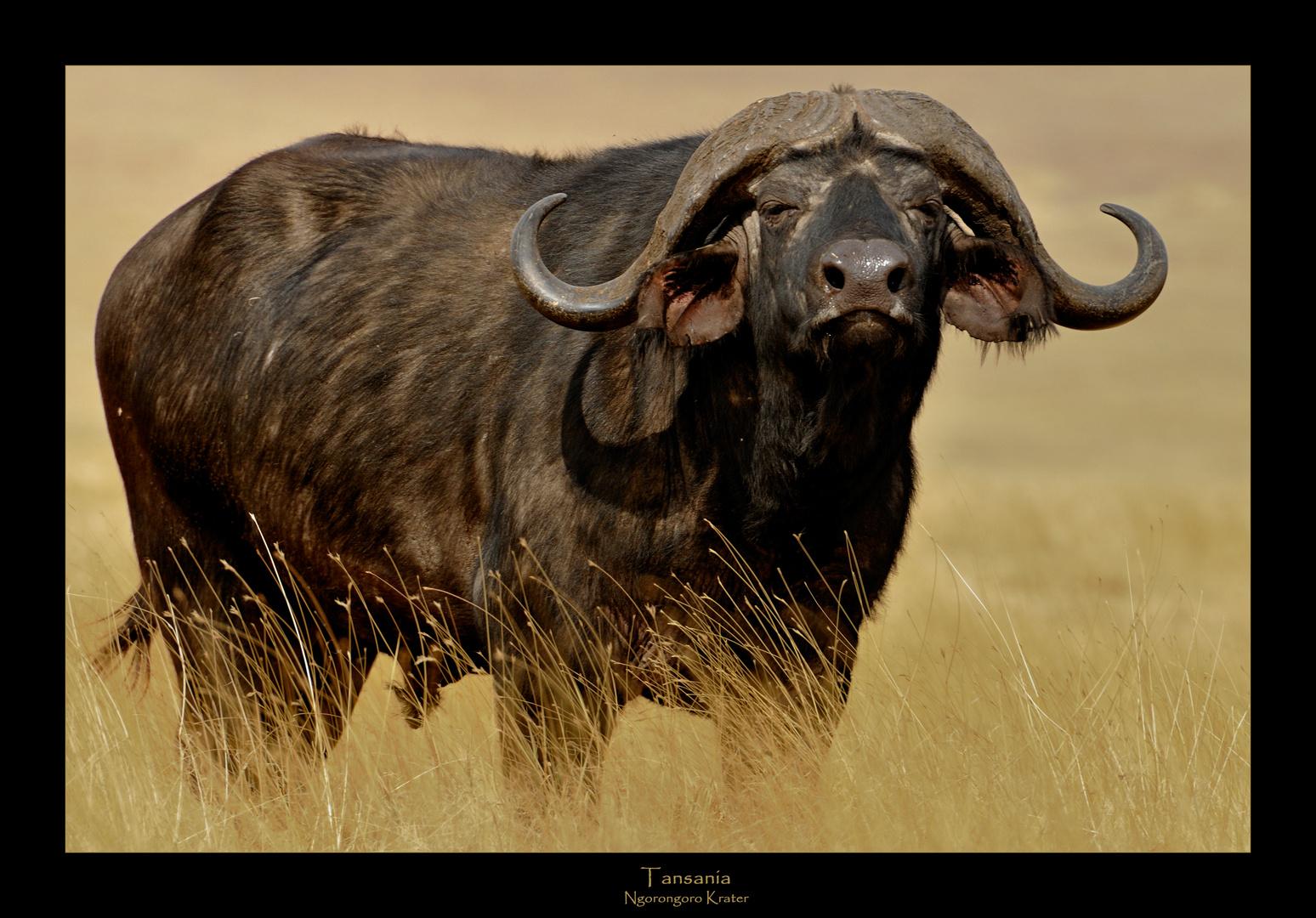 - Buffalo beauty -