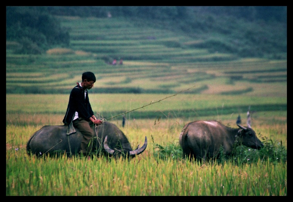 Buffalo in Sapa
