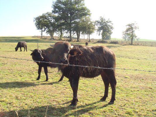 bufflonnes dans le cantal