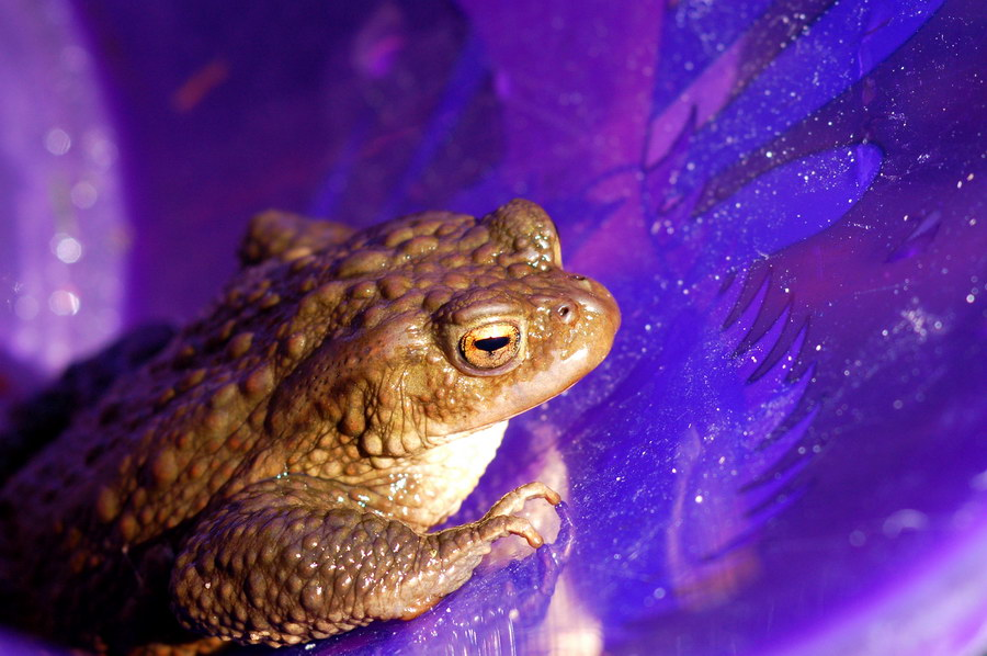 Bufo Bufo in Blue