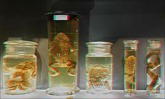 Bufo Marinus (3D)