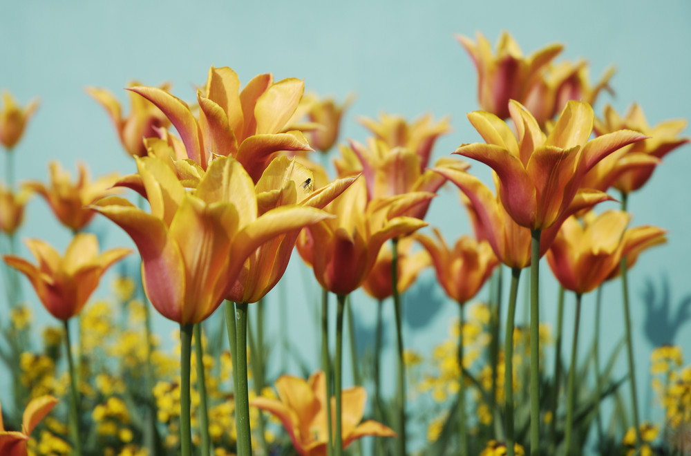 BUGA Tulpen mit Fliege