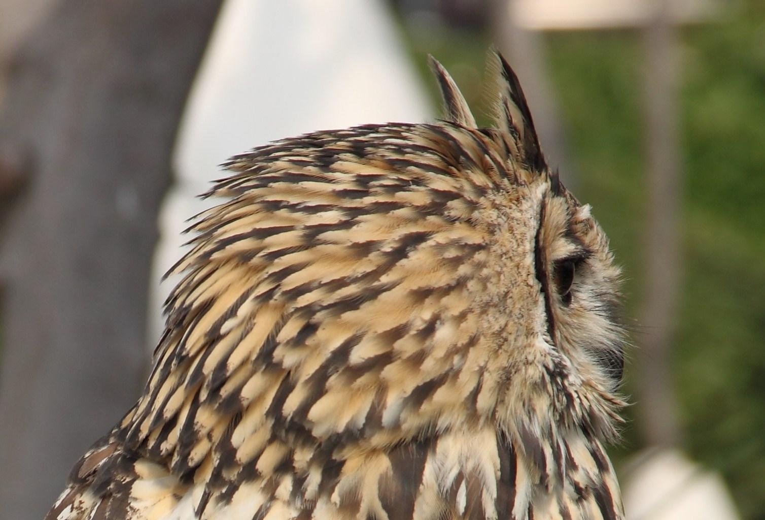 Buho indio Indian owl 2