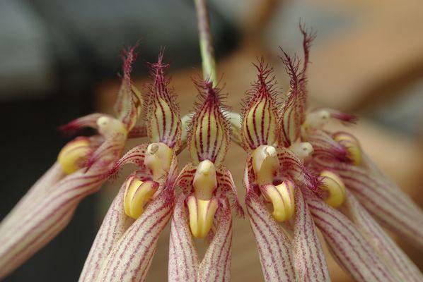 """Bulbophyllum """"Loui Sander"""""""