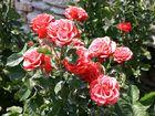 Bulgarische Rosen