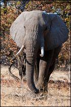 [ Bull Elephant ]