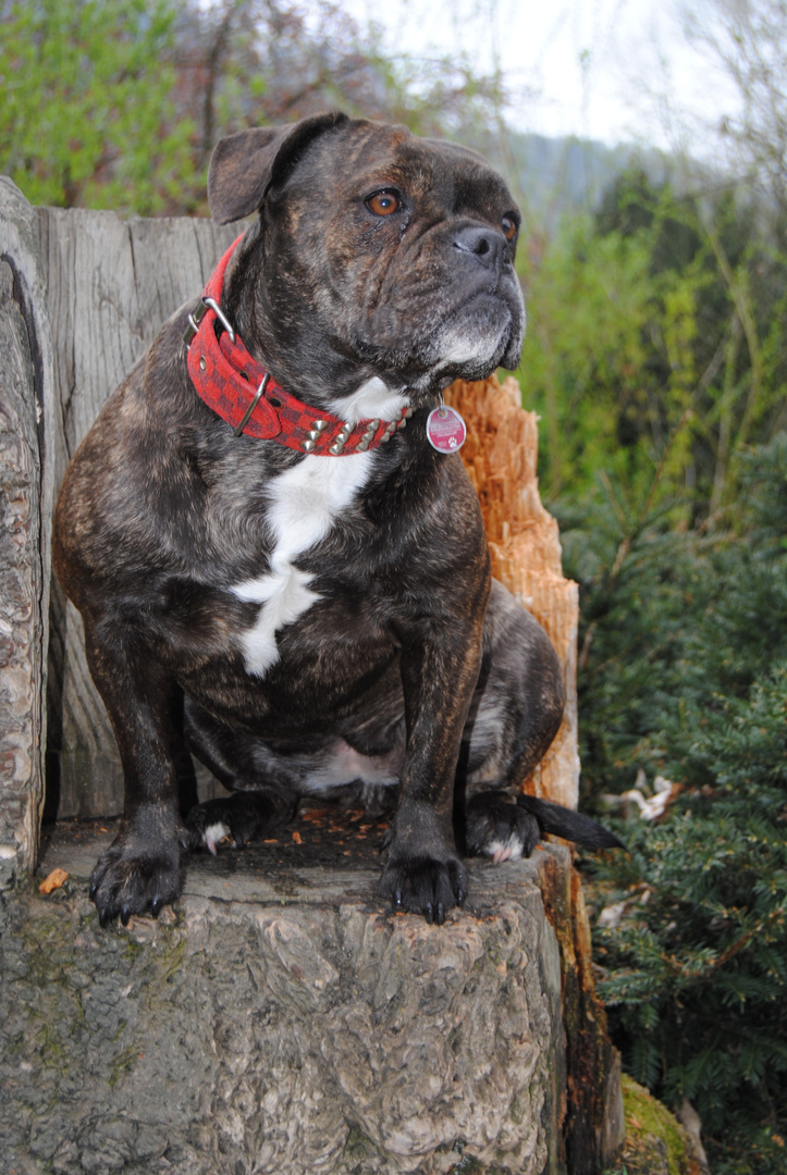 Bulldogge Jacky- Cola