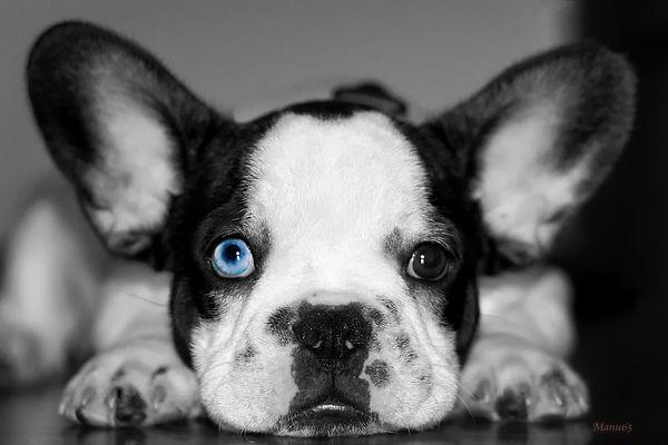 Bully `` Blau Auge``
