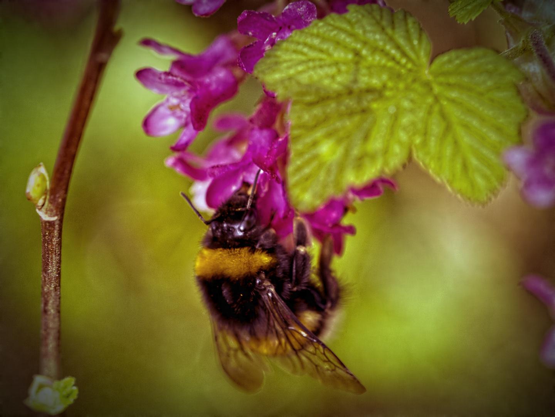 Bumble Bee II HDR