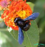 Bumble Bee (Xylocopa violacea) on orange flower