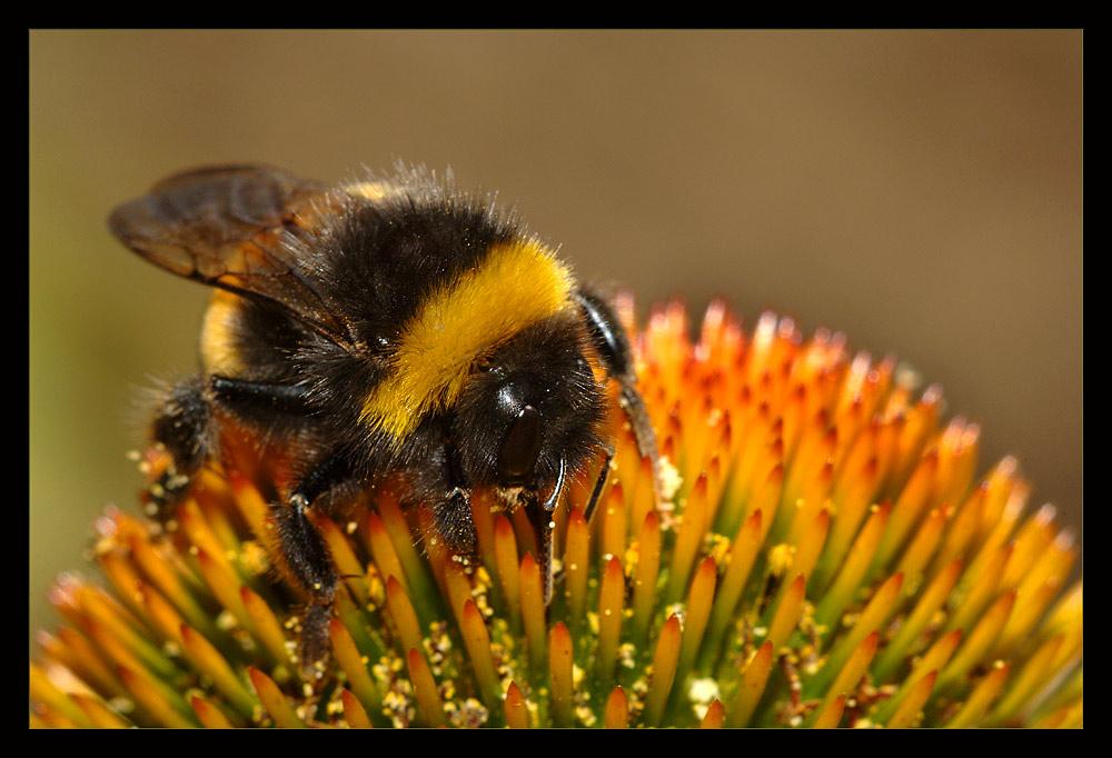 ++ bumblebee ++