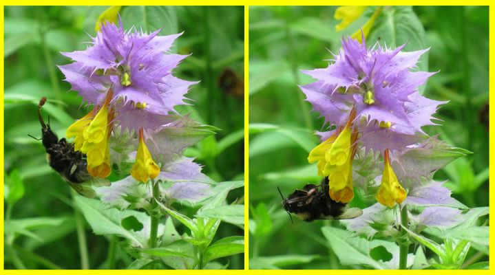 bumblebee and small beetle