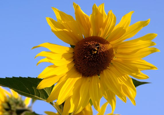 bumblebee in a Sunflower