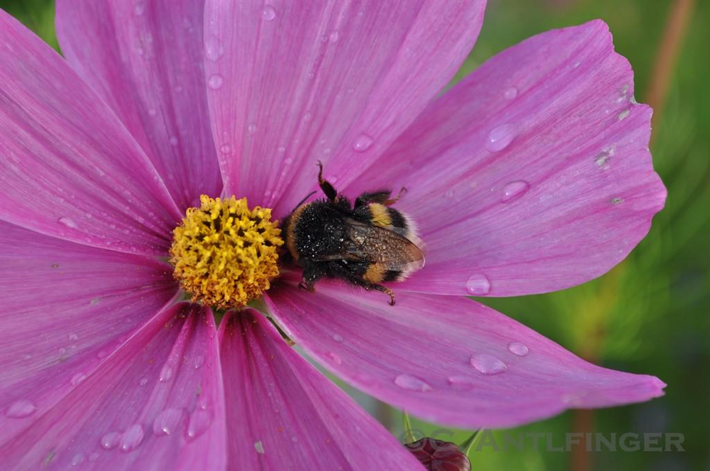 bumblebee's cosmos