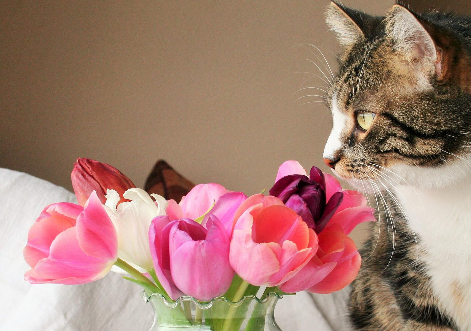Bumsti schnuppert an den Tulpen