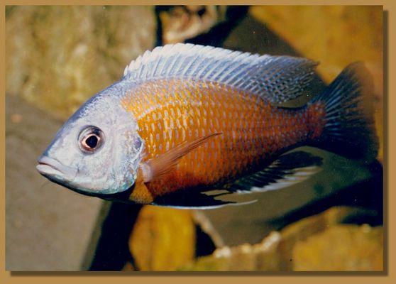 Buntbarsch aus dem Malawisee