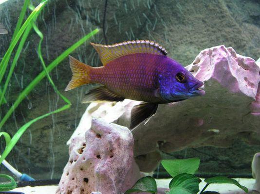 Buntbarsch frisch aus dem Aquarium