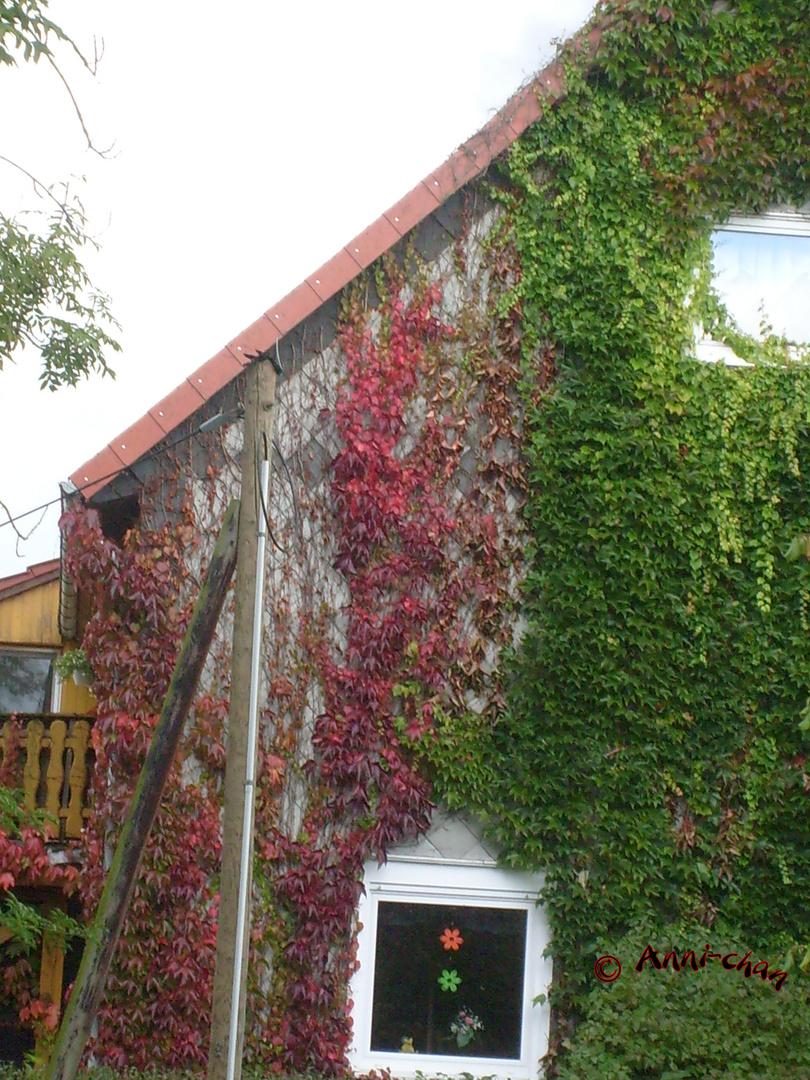 Bunte Blätter an der Hauswand