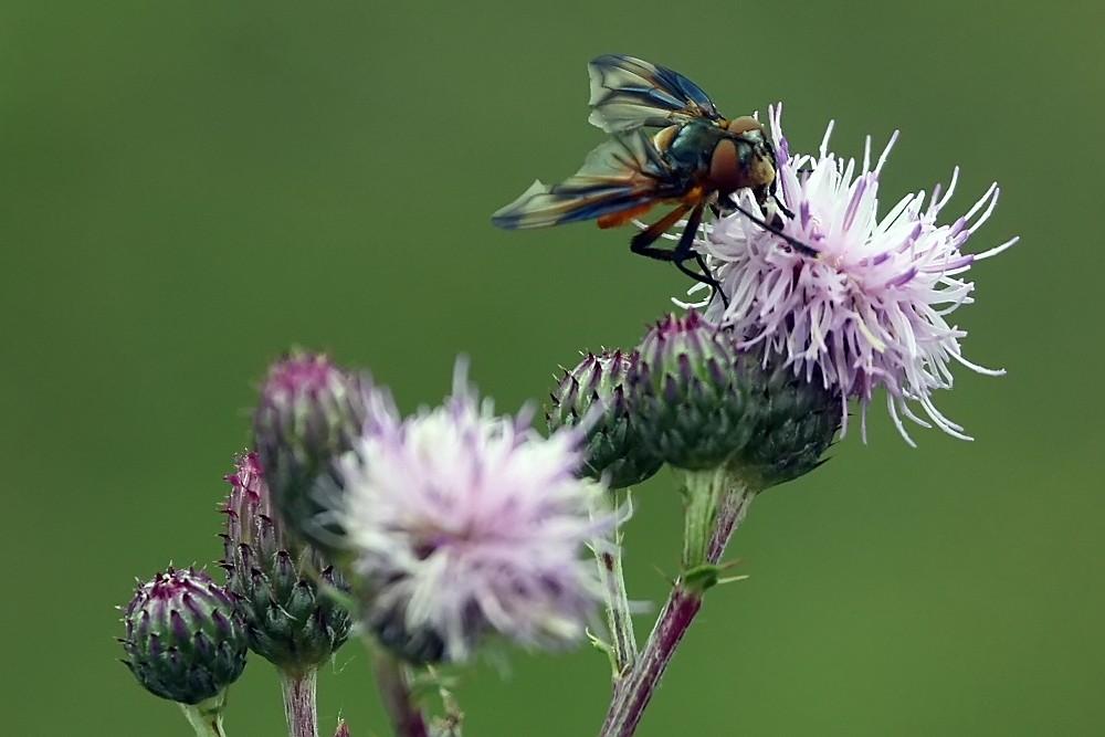 Bunte Fliege