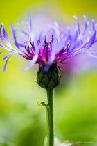 Bunte Flockenblume