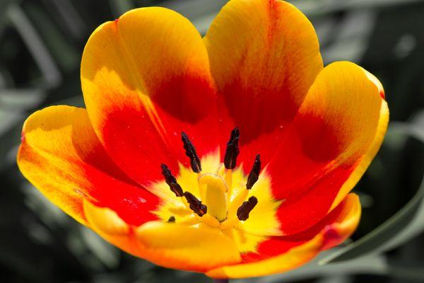 bunte Tulpe