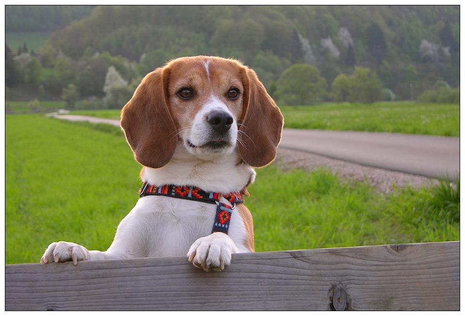 Bunter Beagle Bolle