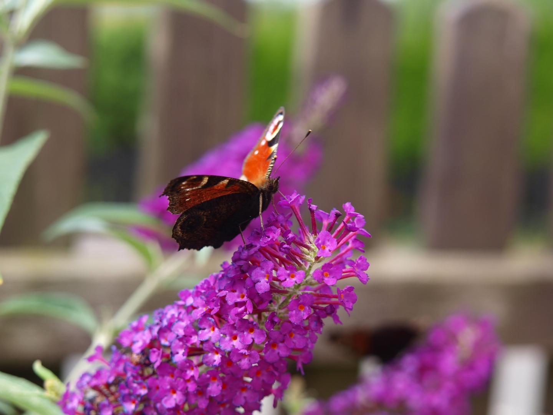 Bunter Butterfly
