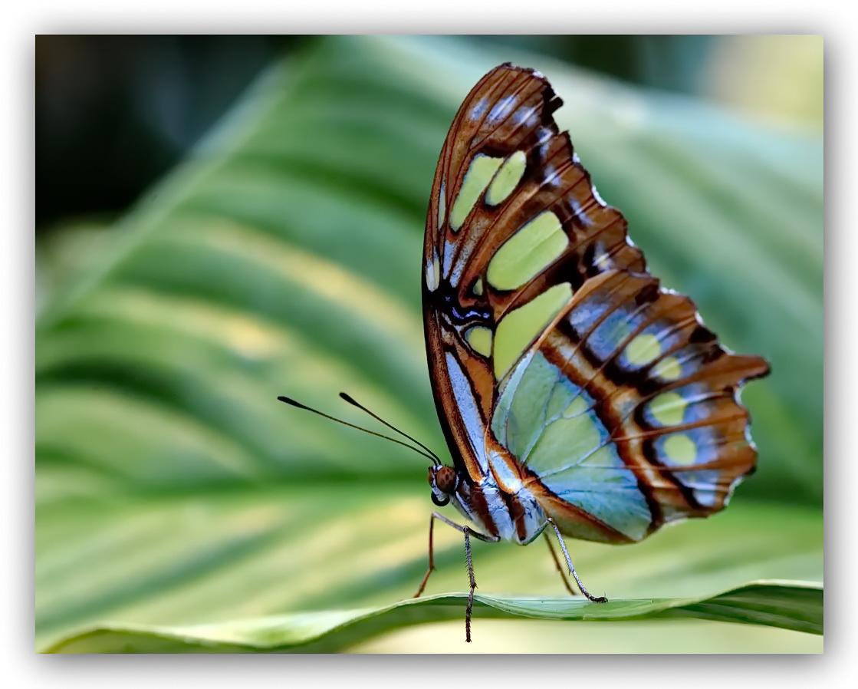 Bunter-Schmetterling