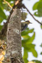 Buntkopfspecht (Melanerpes chrysauchen), südlich von Uvita, Costa Rica