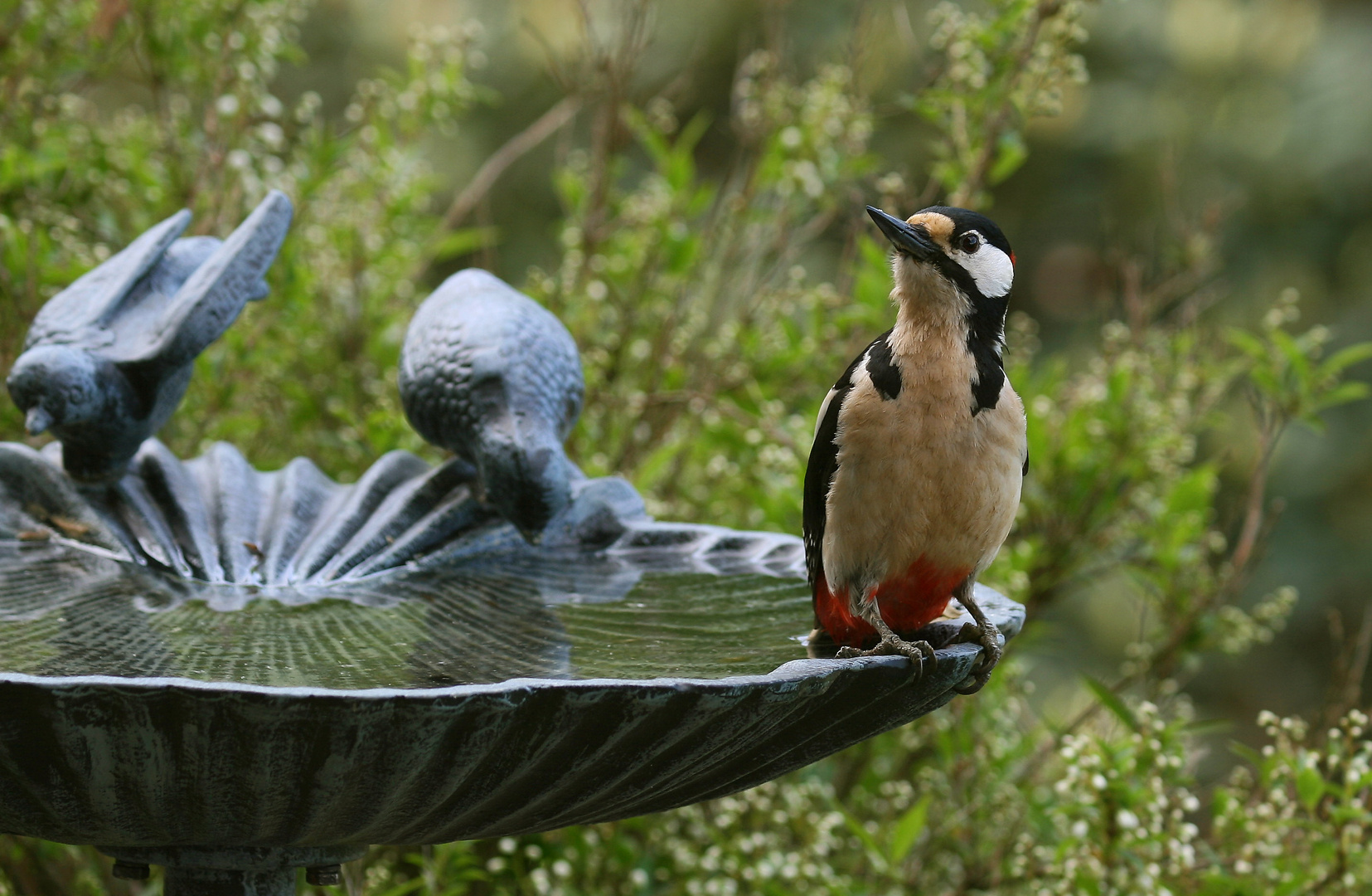 Buntspecht an der Vogeltränke