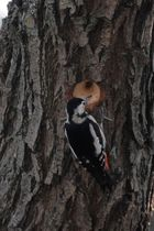 Buntspecht beim Nestbau