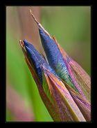 Buntstifte... Iris Knospen