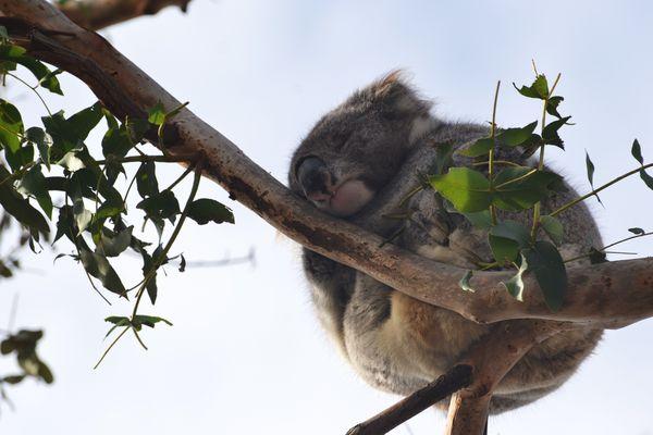 Buonanotte Koala